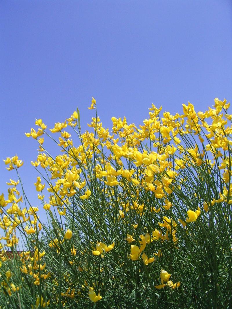 秦 美穂子 のブログ-イラン黄色い花